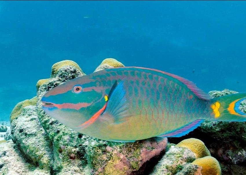 Reef check llama a no consumir pez loro